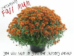 fall_mum_f
